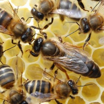 Dunkle Kanarische Biene